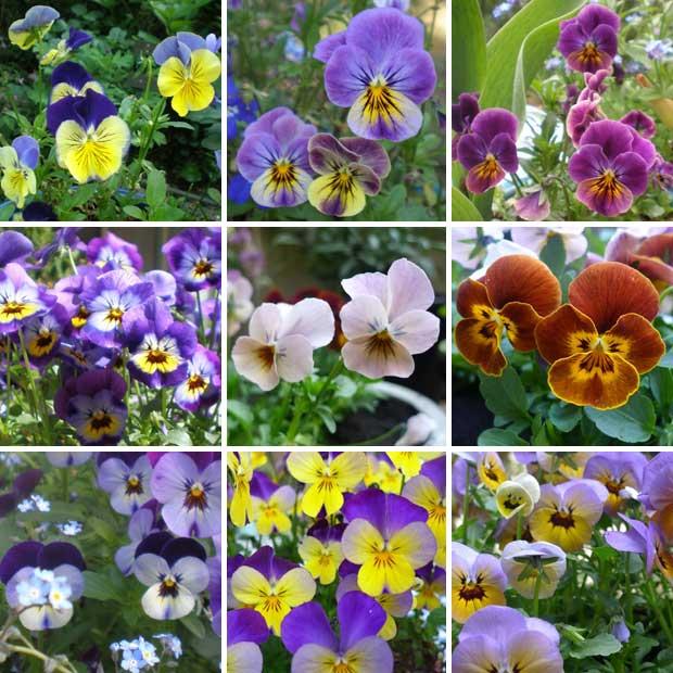 viooltjes collage