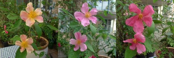 rosa_chinensis_mutabilis