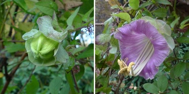 Cobaea, knop en bloem