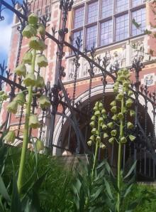 Fritillaria persica 'Ivory Bells'