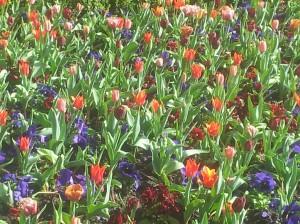 tulpen en violen