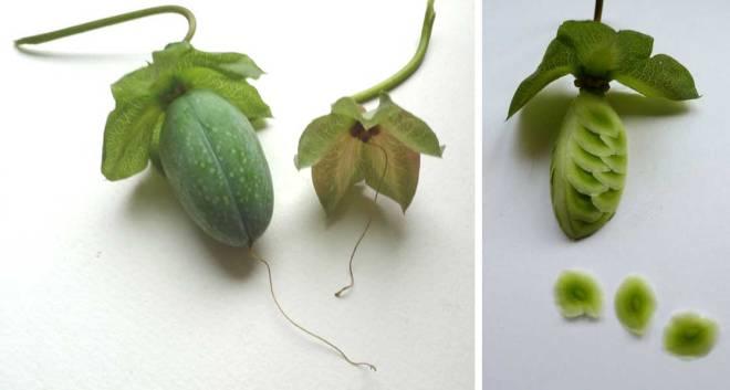 Tuin van Judith, Cobaea vrucht en zaad